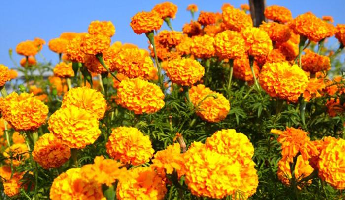 भारतीय फूल आयात प्रतिस्थापन गर्न यस्तो छ 'पोली हाउस' कार्यक्रम