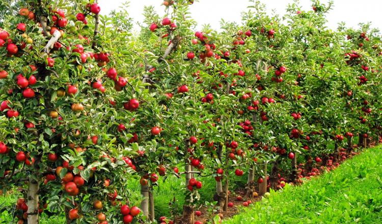 कृषि मन्त्रालयको नयाँ योजना, ८ अर्ब लगानीमा १० हजार हेक्टरमा फलफूल खेती