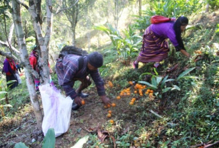 बागलुङको वनमा पनि फलफूल खेती, मानव–वन्यजन्तु द्वन्द्व घटाउने विश्वास